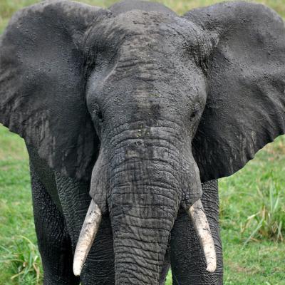 Elefant DSC_0423