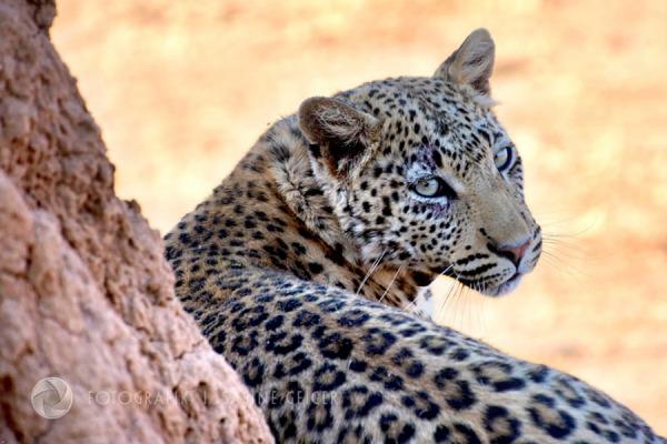 namibia-leopard-africat-BEARBfoundation